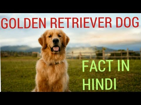 GOLDEN RETRIEVER DOG FACT ||DOG FACT || IN HINDI