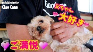 【ヨークシャーテリア専門犬舎チャオカーネ】 父ちゃん大好き! #ヨーク...