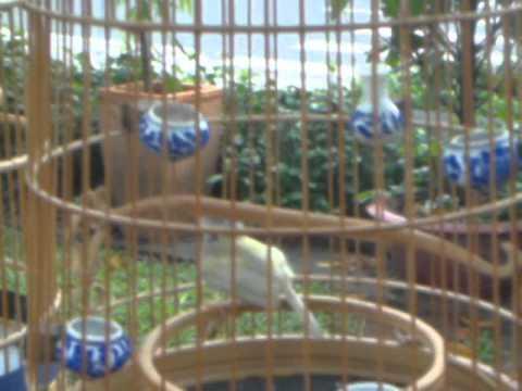 chim sau xanh mai dot bien trang