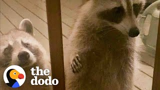Wild Raccoon Introduces Woman To Her Daughter...And Granddaughter   The Dodo Faith = Restored