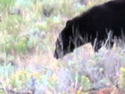 Yellowstone Black Bear