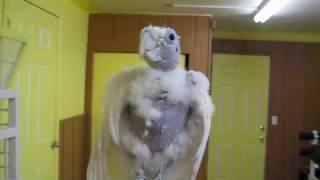 Singing Parrot!