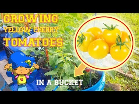 My Yellow Cherry Tomatoes are DOING GREAT in my CONTAINER GARDEN: THE GARDEN OF FEODORA