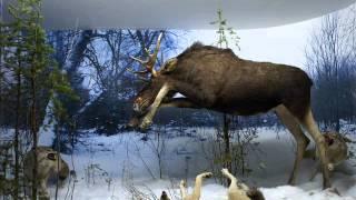 нападение волков на лося