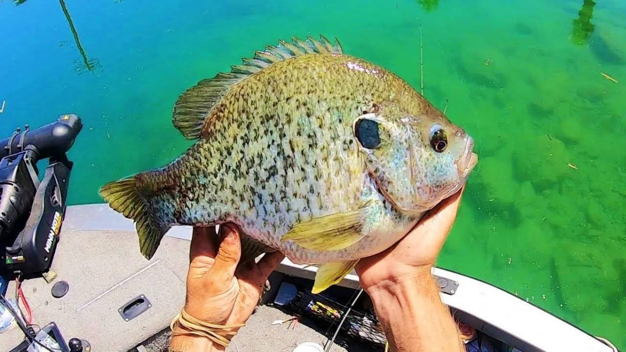HOW DO SUNFISH EVEN GET THIS BIG?!? (INSANE)