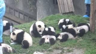 お世話したい!ミルクに夢中な赤ちゃんパンダ達