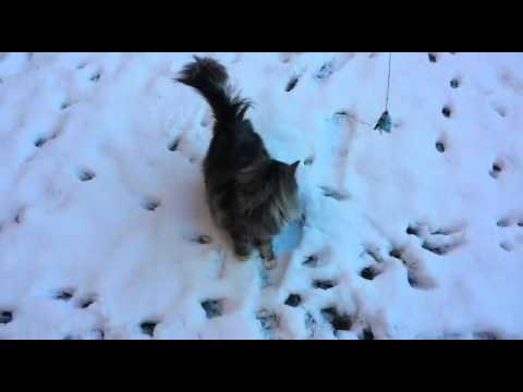 Norwegian Forest Cat playing in the snow