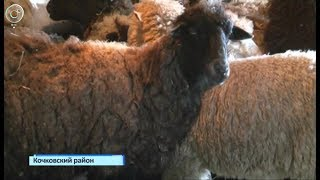 В борьбе с лейкозом. В районах Новосибирской области массово прививают скот