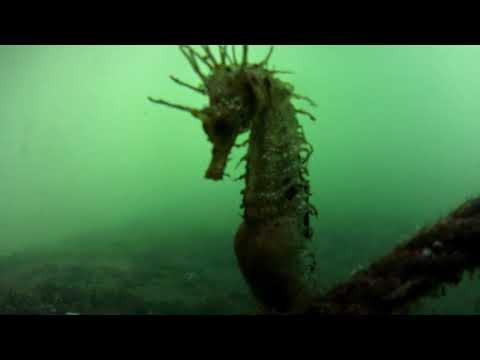Hallan en Celeiro un caballito de mar de una especie nunca antes vista en A Mariña