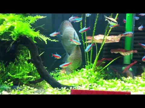 孔雀魚紅蓮燈混養| - 綠蟲網 - BidWiperShare.com