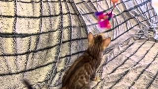 Кошка Baileys Помет 01.02.16  бенгал котенок