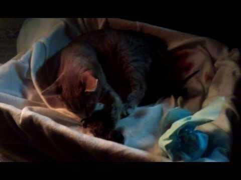'Ite - newborn kitten - getting groomed, meowing.