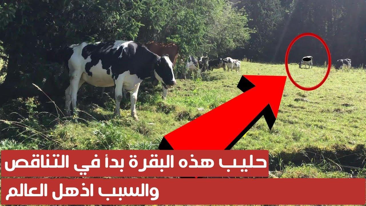 حليب هذه البقرة بدأ في التناقص ، والسبب اذهل العالم