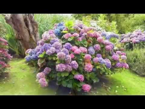 Карточка «гортензия крупнолистная endless summer bloom star blue-lilac ( hydrangea macrophyla)» из коллекции «гортензия императрица садов» в яндекс. Коллекциях.