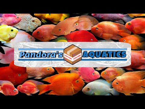 Fertile Parrot Fish & Rose Queen Cichlid #1