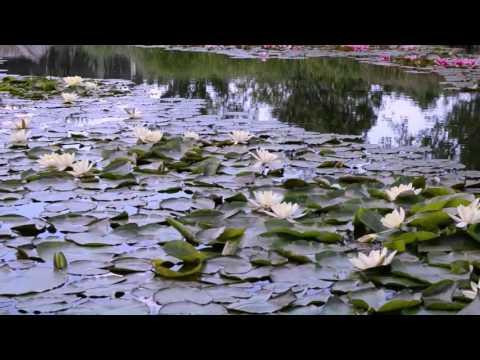 Водяные лилии цветут