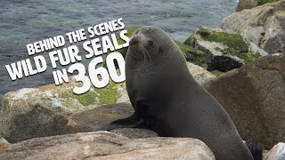 360 video - Shooting fur Seals in the wild