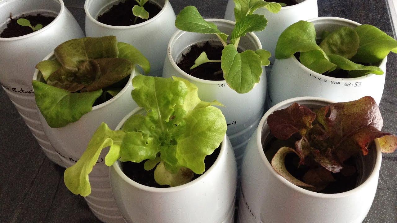semis salade en int rieur temps de lev e laitue couper. Black Bedroom Furniture Sets. Home Design Ideas