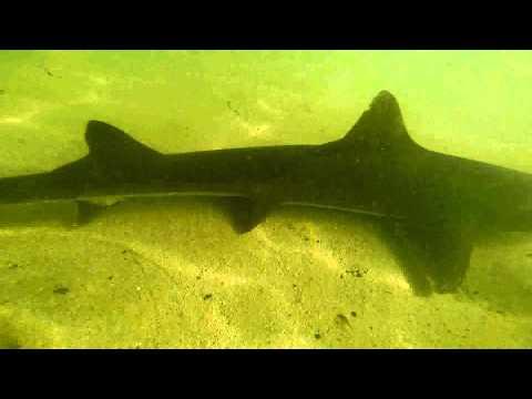 School Sharks, Galeorhinus Galeus, In A Fuerteventura Beach (Canary Islands)