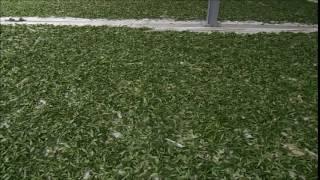 台灣高山茶的製茶流程 (內文有說明):大禹嶺高冷茶日光萎凋過程的影片。