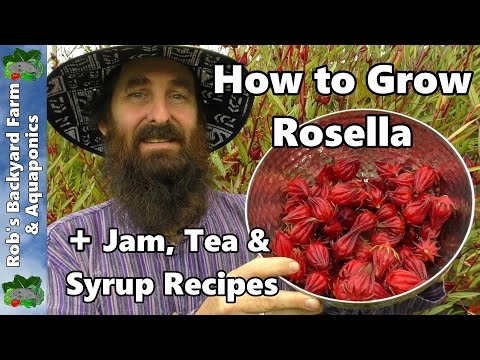How To Grow Rosella AKA Jamaican Sorrel PLUS Jam, Tea & Syrup Recipes