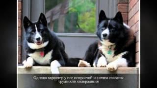 Карельская медвежья собака Средние породы собак