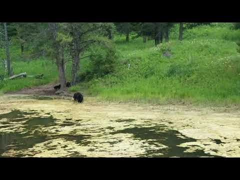 Yellowstone bear sighting with cubs 2018