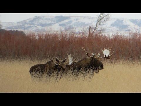 North Dakota Moose Study : NDGNF