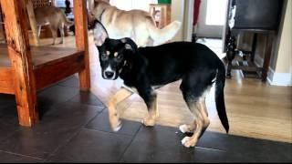 Lexie - Foster Dog From Gooddog Rescue In Ottawa Manotick