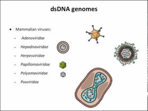 Virology 2013 Lecture #3 - Genomes and genetics