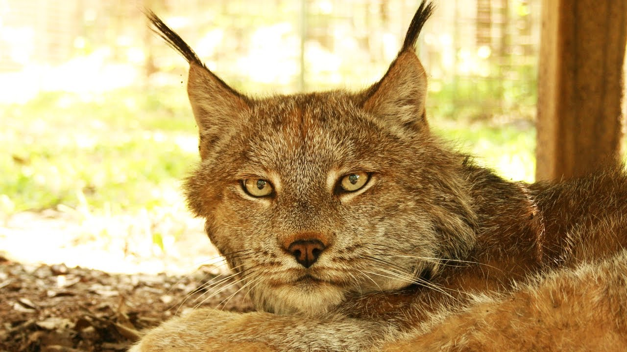 6 Exotic Cats Rescued in Kansas