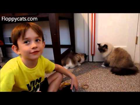Ragdoll Cats Are Introduced to Fling Ama String Electronic Cat Toy  - ねこ - ラグドール - Floppycats