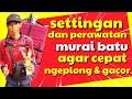 Tips Perawatan Murai Batu Agar Ngeplong Dan Gacor  Mp3 - Mp4 Download