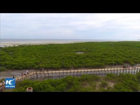 "LIVE: Exploring ""mangrove guardians"" on China's southern coastline"