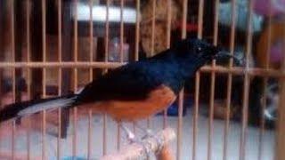 Jenis Pakan Peningkat Birahi Burung Murai Batu Yang Sudah Terbukti