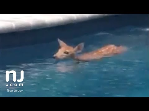 Deer goes for a swim in family pool
