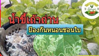 Hydroponics || น้ำขี้เถ้าถ่าน ป้องกันหนอนชอนใบ : ผักไฮโดรโปนิกส์, grow vegetable at home. ep.66