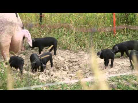 Rodale Insitute Organic Hog Facility
