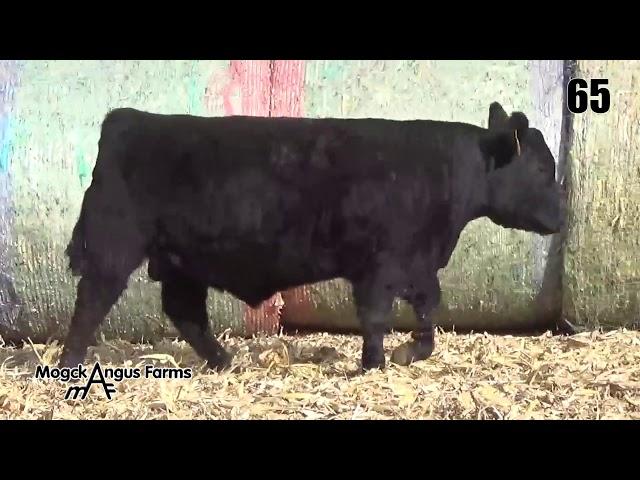 Mogck Angus Farms Lot 65
