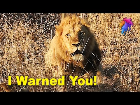 Lion Warns Then Charge Tourists at Kruger Park.