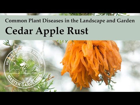 Cedar Apple Rust - Common Plant Diseases In The Landscape And Garden