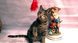 Ташкентская короткошерстная кошка