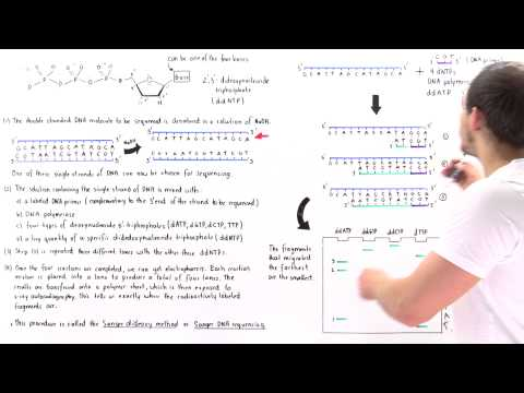 Sanger Sequencing of DNA (Part II)
