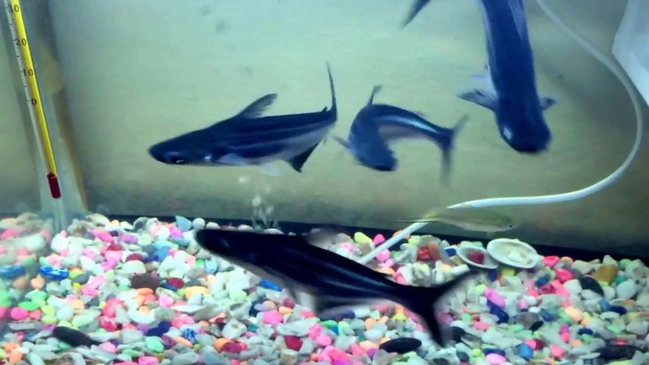 Requin d 39 eau douce 2017 youtube for Poisson aquarium eau douce