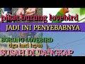 Penyebab Bandangan Burung Lovebird Susah Turun  Mp3 - Mp4 Download