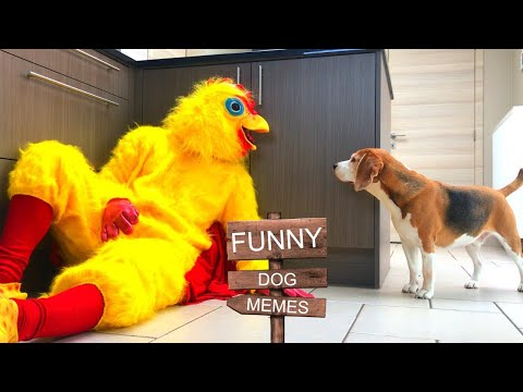 FUNNY DOG MEMES THAT WILL MAKE YOU LAUGH : LOUIE THE BEAGLE!
