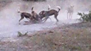 African Wild Dogs Hunting Impala in Moremi Game Reserve - Botswana