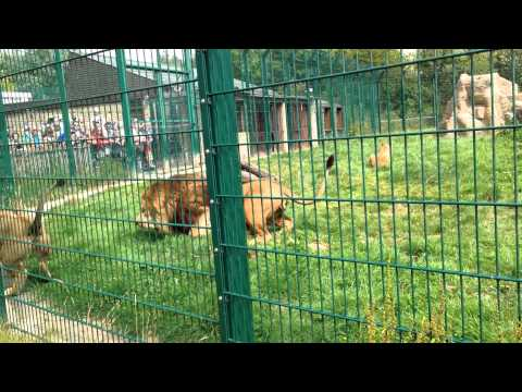 Lions fighting at Blackpool Zoo