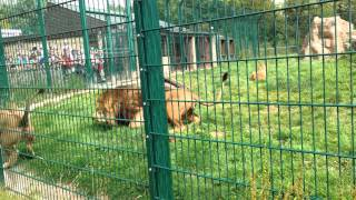 Download Video Lions fighting at Blackpool Zoo MP3 3GP MP4