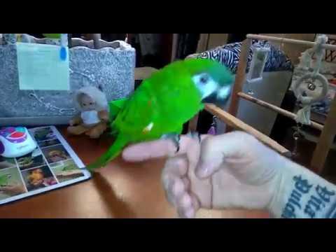 Говорящий ручной попугай Ara nobilis